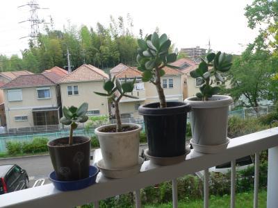 それぞれ独立した鉢で本来の成長力を回復した「金のなる木」