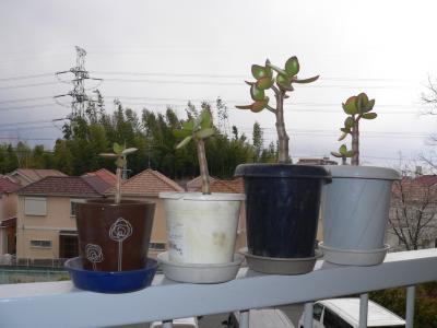 「キレハアラリア」との同居で成長が止まっていた「金のなる木」を4月6日に植え替え