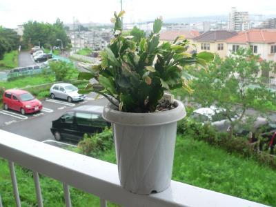 昨年の冬に買ってきて、この春から急激に成長してきた「シャコバサボテン」