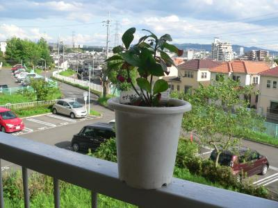 小鉢に植えていたが、次第に大きくなって植え替えを決意した「ヤブコウジ」