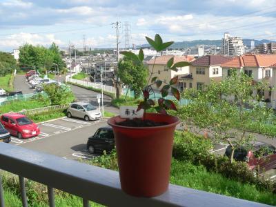 昨年の冬に買ってきて一度は死んだが、見事に生き返ってくれた「南天」の木