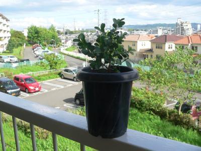 2年前、「だいどう豊里」の駅前に生えていたものを挿し木した「ツゲ」