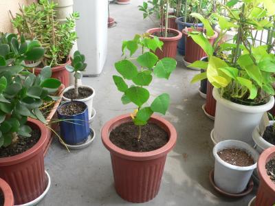 昨秋にドングリを拾ってきて植えたナンキンハゼが急成長してきた