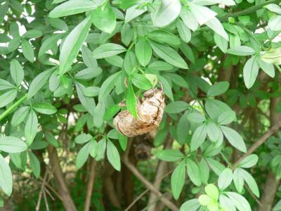 この抜け殻から出たセミはいま木の上でうるさいくらいに鳴いている
