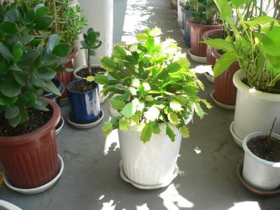 あまりに成長の早さに再度の植え替えを敢行した「シャコバサボテン」