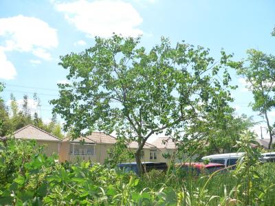 夏空に向かって元気よく成長する「ナンキンハゼ」の木
