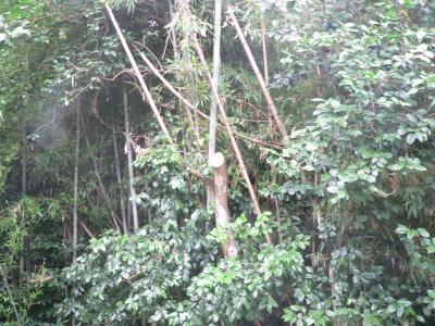 弟によって無残にも頭を切り落とされたツバキの木