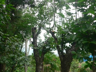 弟によって切り落とされたモクレンの木
