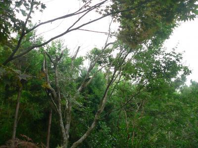次々と幹と枝を切り落とされていくモミジの木