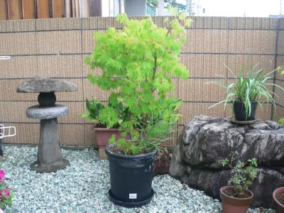 """11年8月に大きな鉢へと植え替えを行なった直後のモミジ""""大""""の勇姿"""