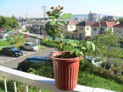 強い力で再生しようとしているクスノキの苗木。横からナナカマドが芽を出してきた