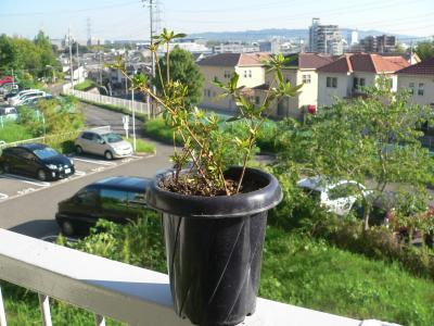 山を崩すときに見つけたツツジの苗木。盛土に根を出していた生命力にあふれた期待の新人である