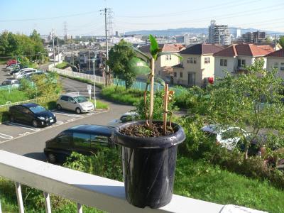 根付いて新葉を出すツバキ。横の小ツバキも根元から芽が出てきた