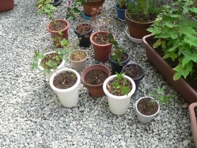 佐渡の畑から採集した直後の植木たち