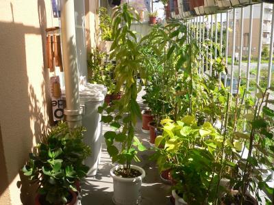 今年、ドングリが芽を出し、ドンドンと育っていったシラカシの木