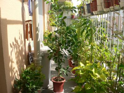 今年になって急成長し、樹高が1.2mを超えたガジュマルの木