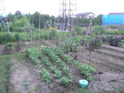 昨年に続いて、今年も行なった「ささげ豆」の支柱立て