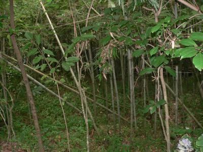 今年、佐渡地方を襲った春の嵐によって荒らされた我が家の竹薮
