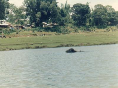 ペワ湖の向こう岸に草を食べに行くため、必死になって泳いでいるバフ(水牛)