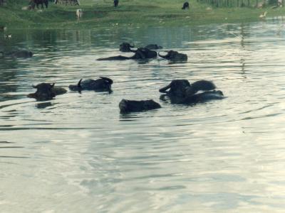 ペワ湖の湖水に浸かって体を冷やすバフの群れ
