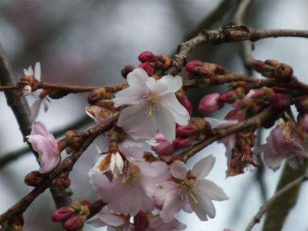 シュヴェツィンゲンの桜3
