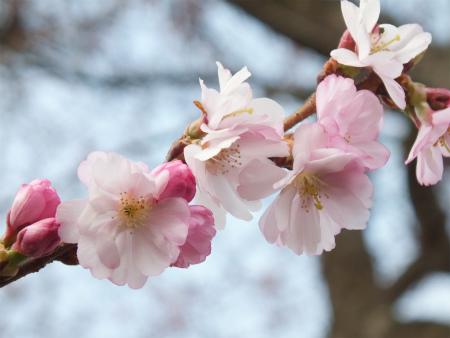 シュヴェツィンゲンの桜2