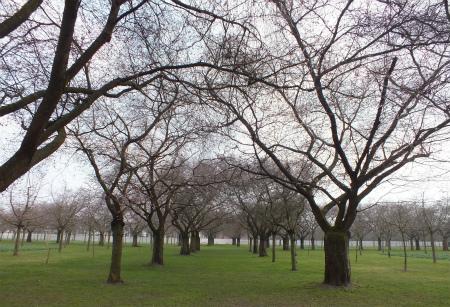 シュヴェツィンゲンの桜並木1
