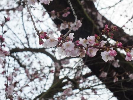 シュヴェツィンゲンの桜1