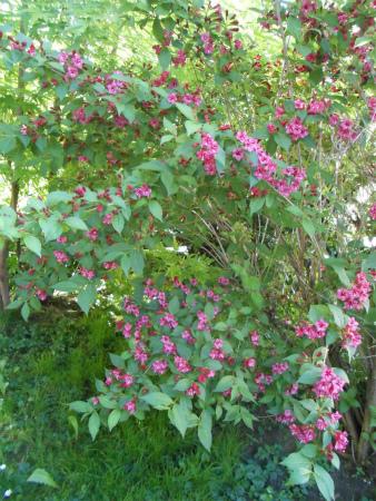 庭のベニウツギ1