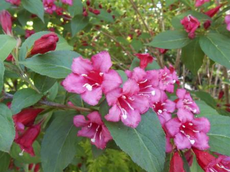 庭のベニウツギ2