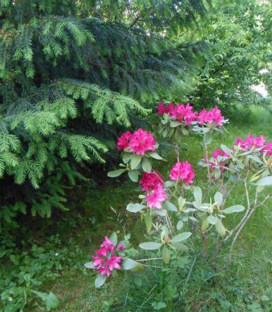 庭のシャクナゲ2