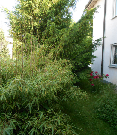 庭のシャクナゲ1