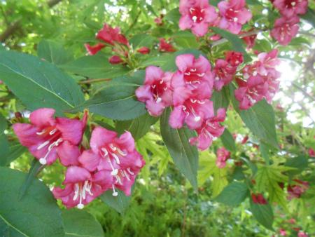 庭のベニウツギ3