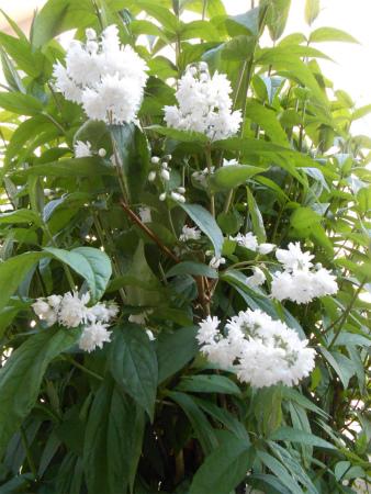 庭のウツギ1