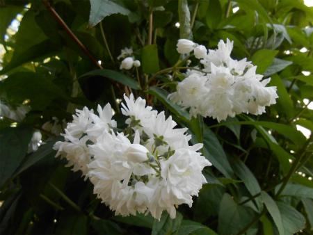 庭のウツギ2