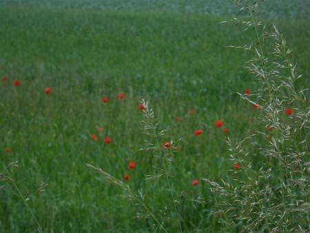 ボウボウのケシの花1