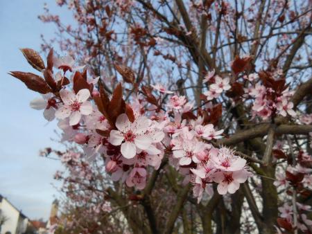近所の桜4