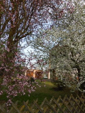 近所の桜8