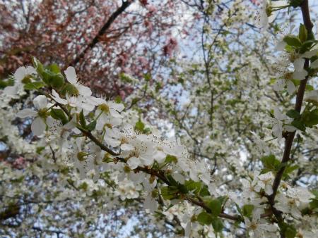 近所の桜6