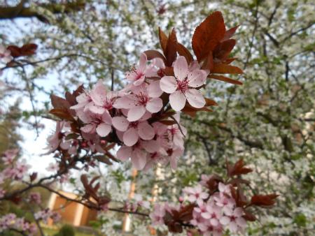 近所の桜5