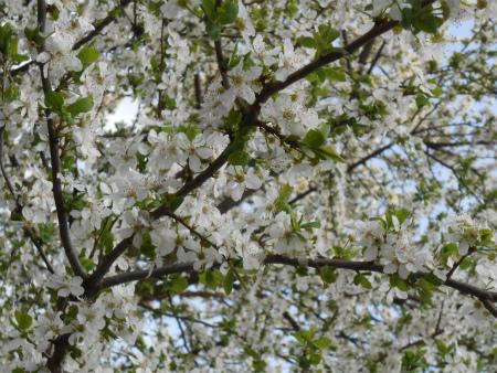 近所の桜7