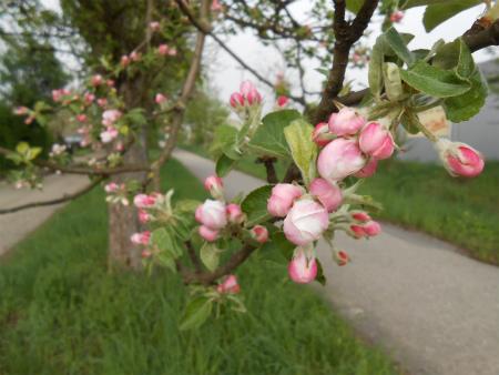 ボウボウのリンゴの木2