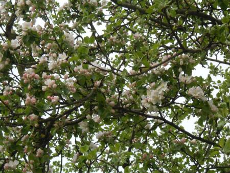 ボウボウのリンゴの木1