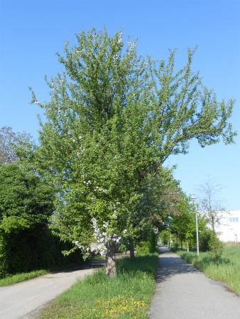 ボウボウのリンゴの木3
