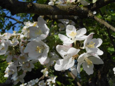 ボウボウのリンゴの木4