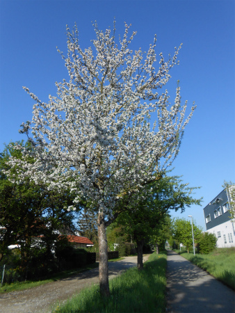 ボウボウのリンゴの木5