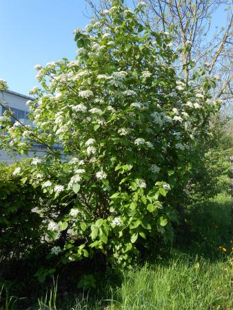ボウボウの白山木1