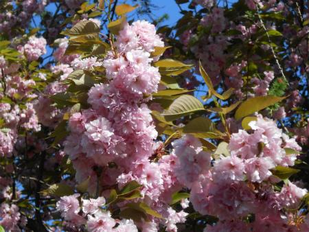 ボウボウの八重桜