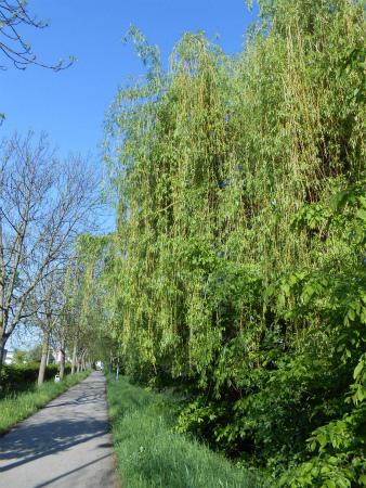 ボウボウの柳の木