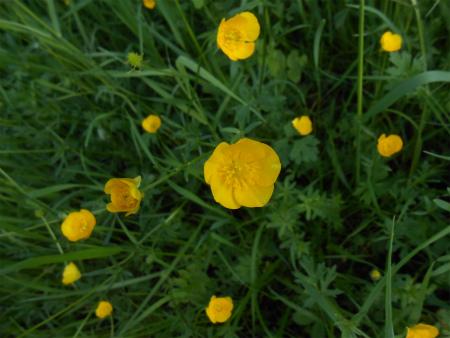 ボウボウの花2